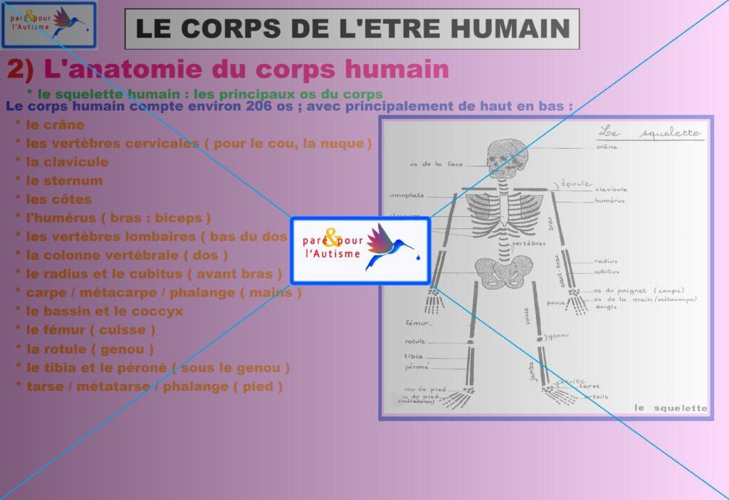 squelette du corps humain : principaux os