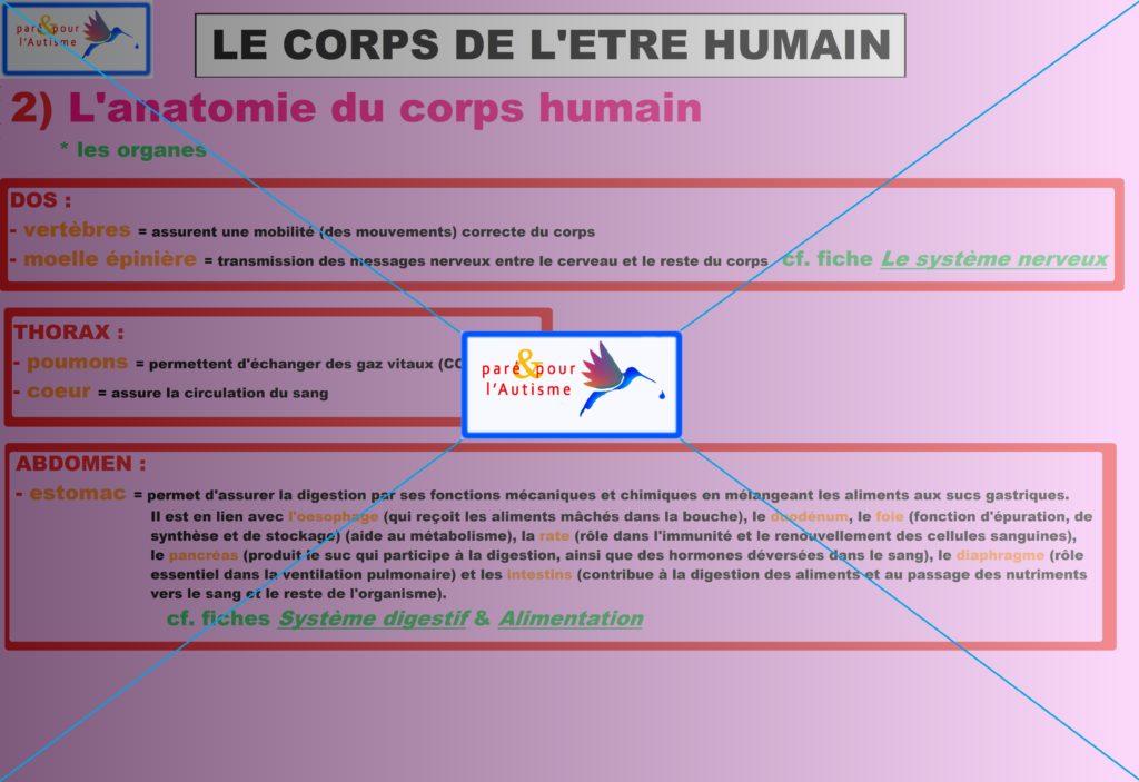 les organes du corps humain 2