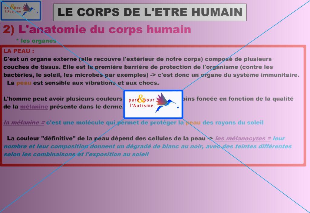 les organes du corps humain 4