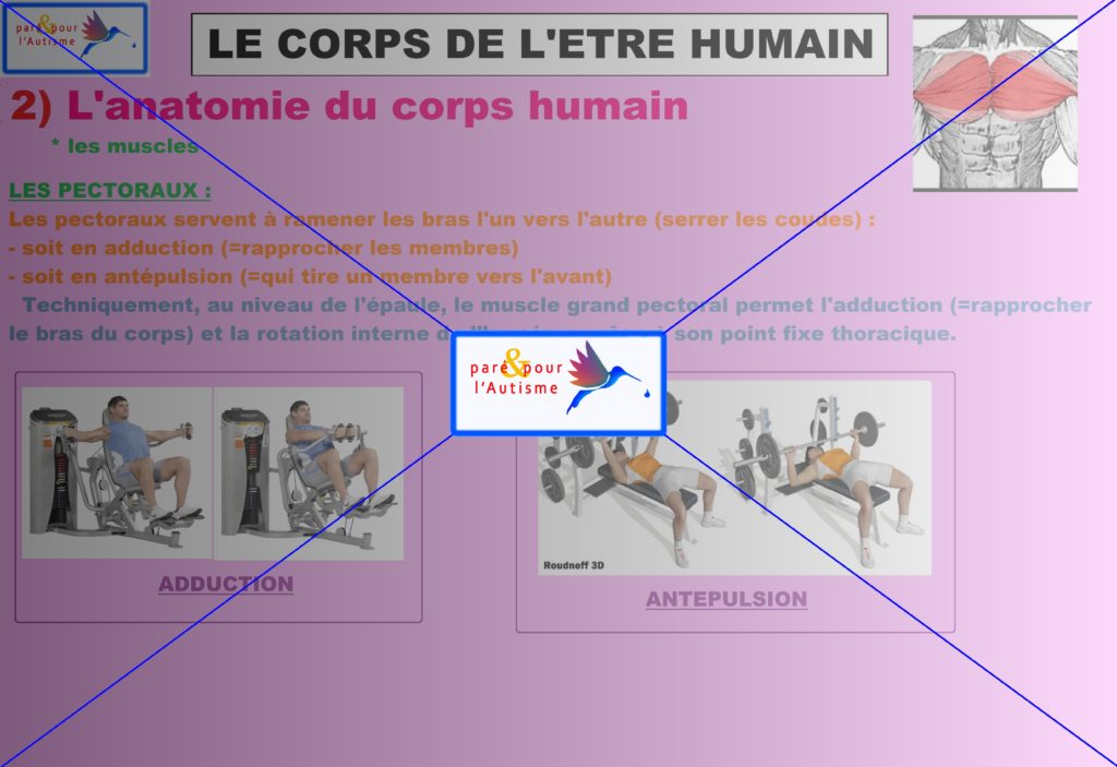 les muscles du corps humain 3