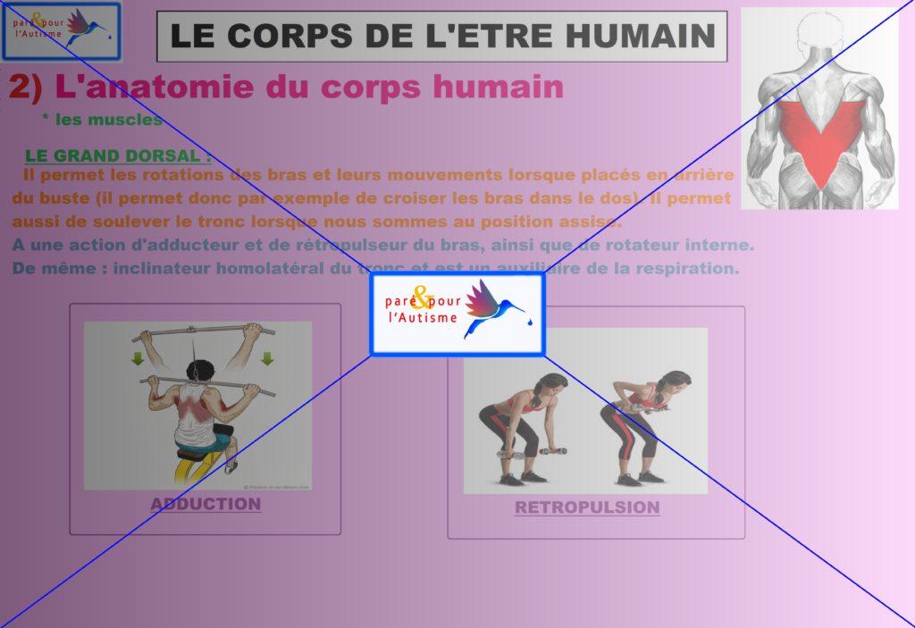 les muscles du corps humain 4