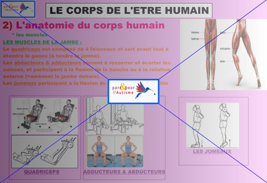 les muscles du corps humain 5