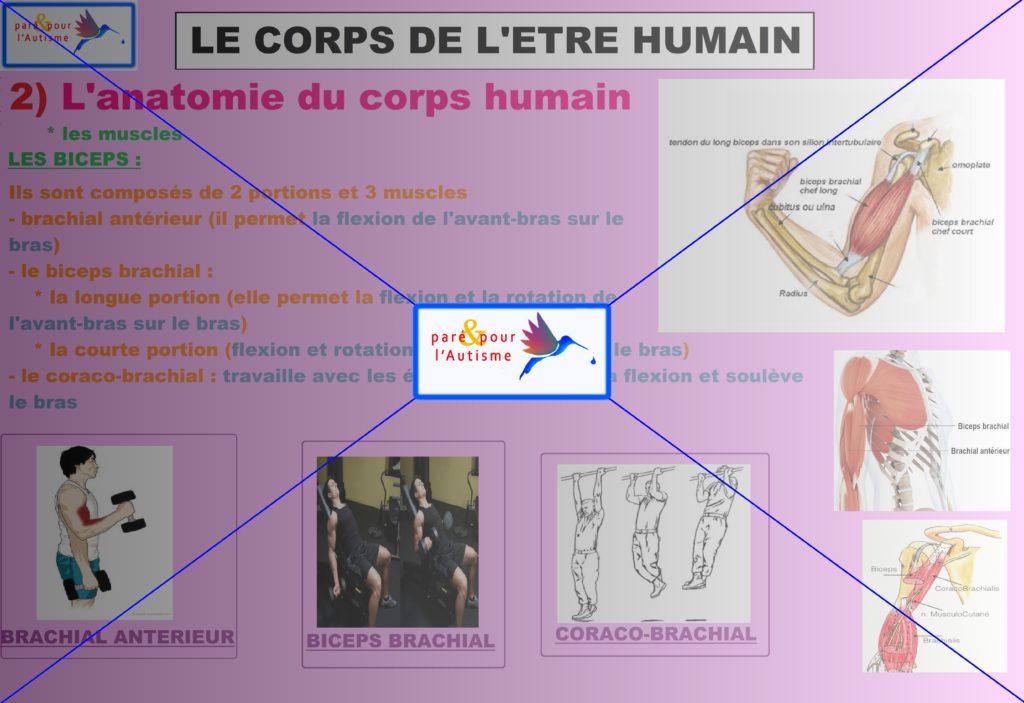les muscles du corps humain 7