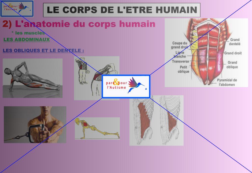 les muscles du corps humain 11