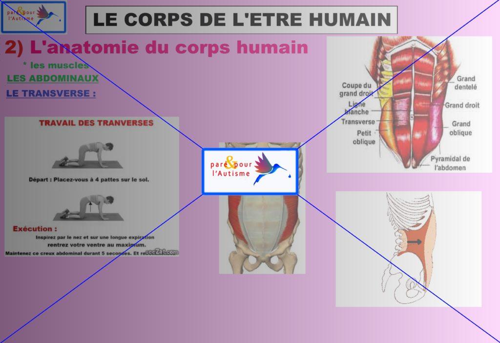 les muscles du corps humain 12