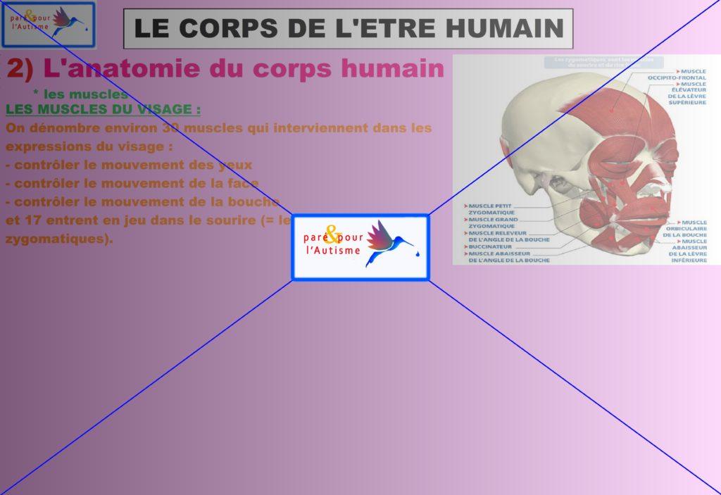 les muscles du corps humain 14